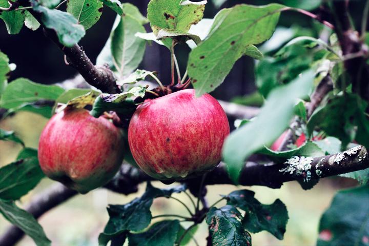 äpplen emmas vintage