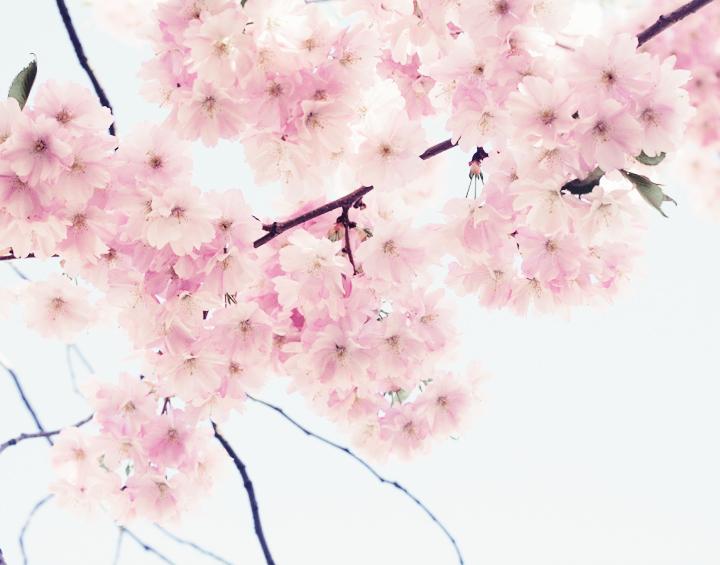 körbärsblommor