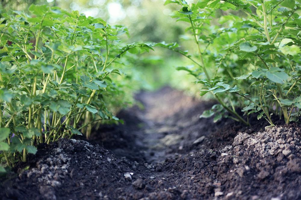 trädgård potatis värmland emmasvintage