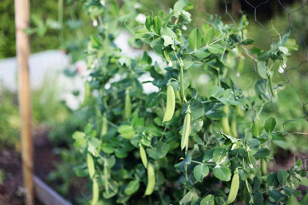 trädgård odla sockerärtor värmland emmasvintage