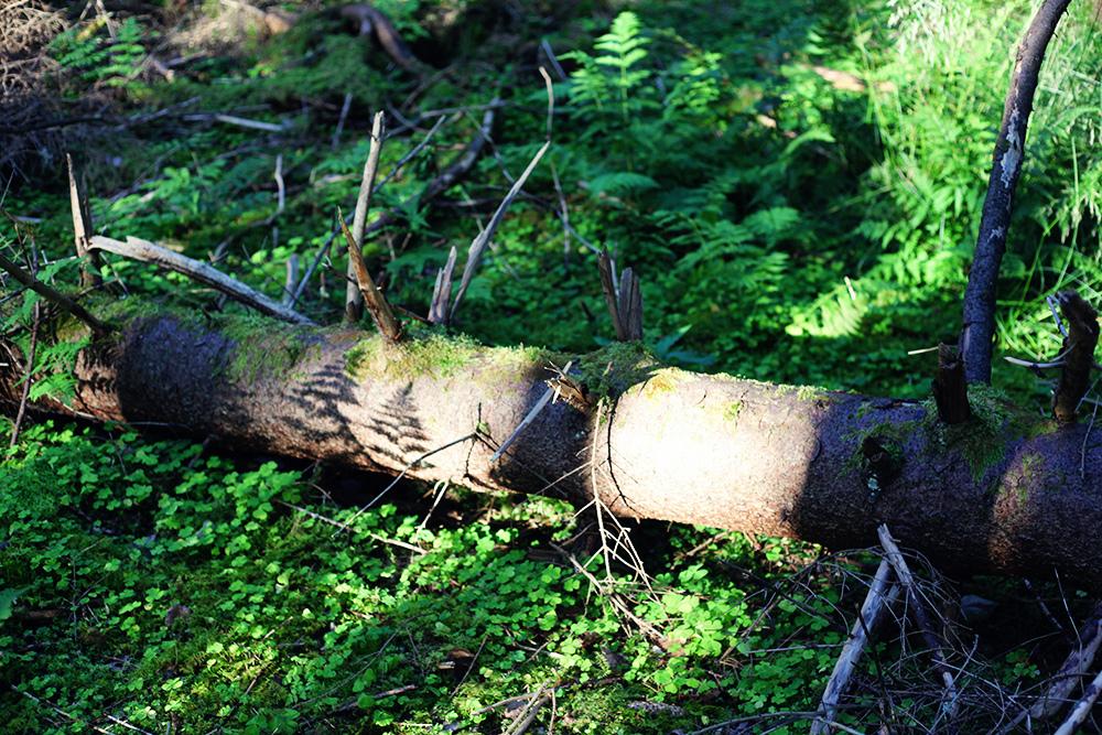 skog svampplockning värmland emmasvintage