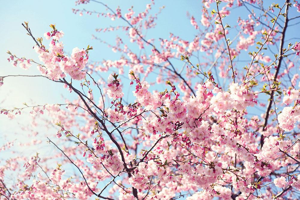 kungsträdgården körsbärsträd körsbärsblommor