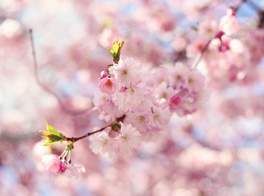 kungsträdgården körsbärsträd körsbärsblommor blommor stockholm
