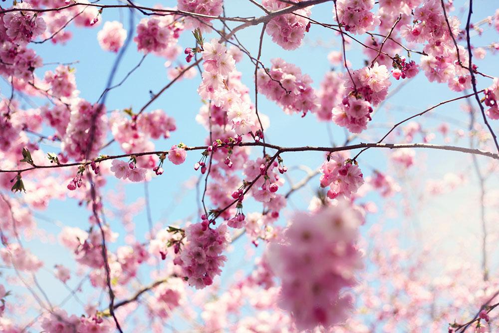 kungsträdgården körsbärsträd körsbärsblommor blommor stockholm rosa