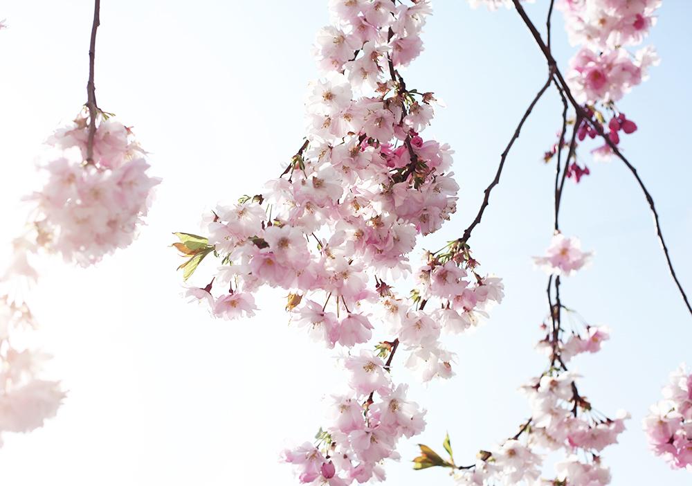 körsbärsträd södermalm stockholm