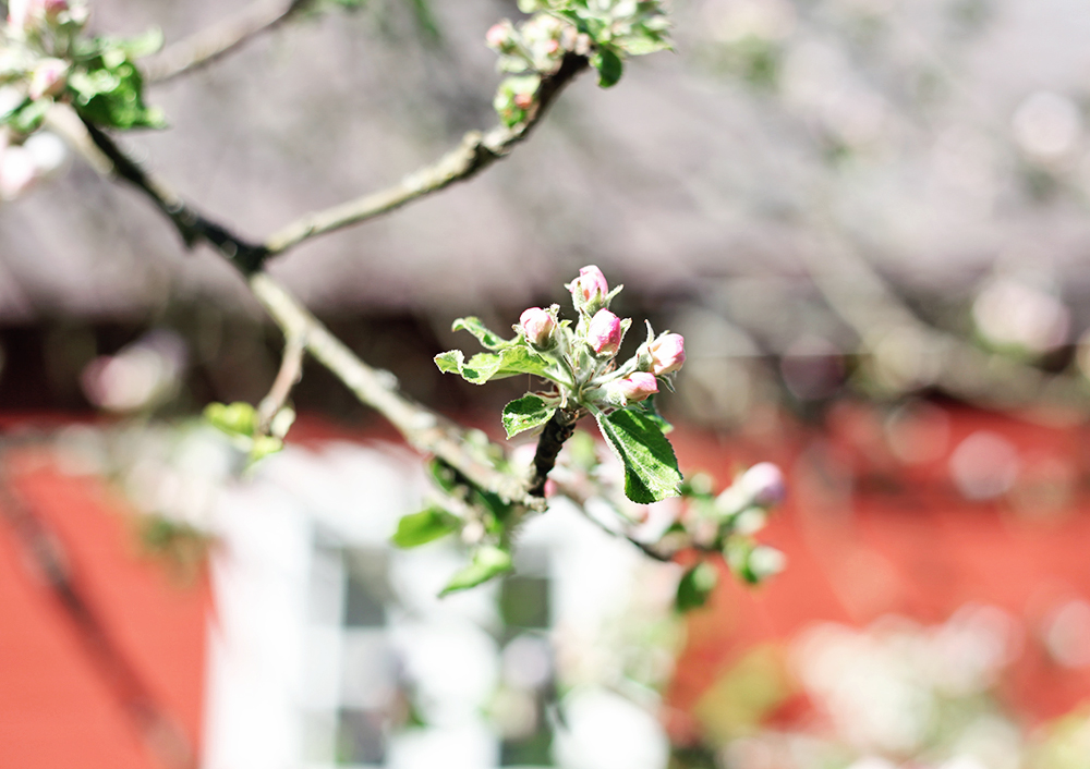 torp gotland emma sundh äppelträd