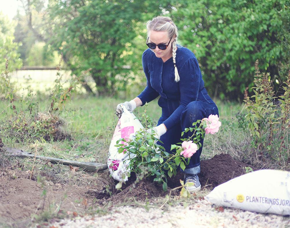 torp gotland ros rabatt rosor perenner perennrabatt trädgård
