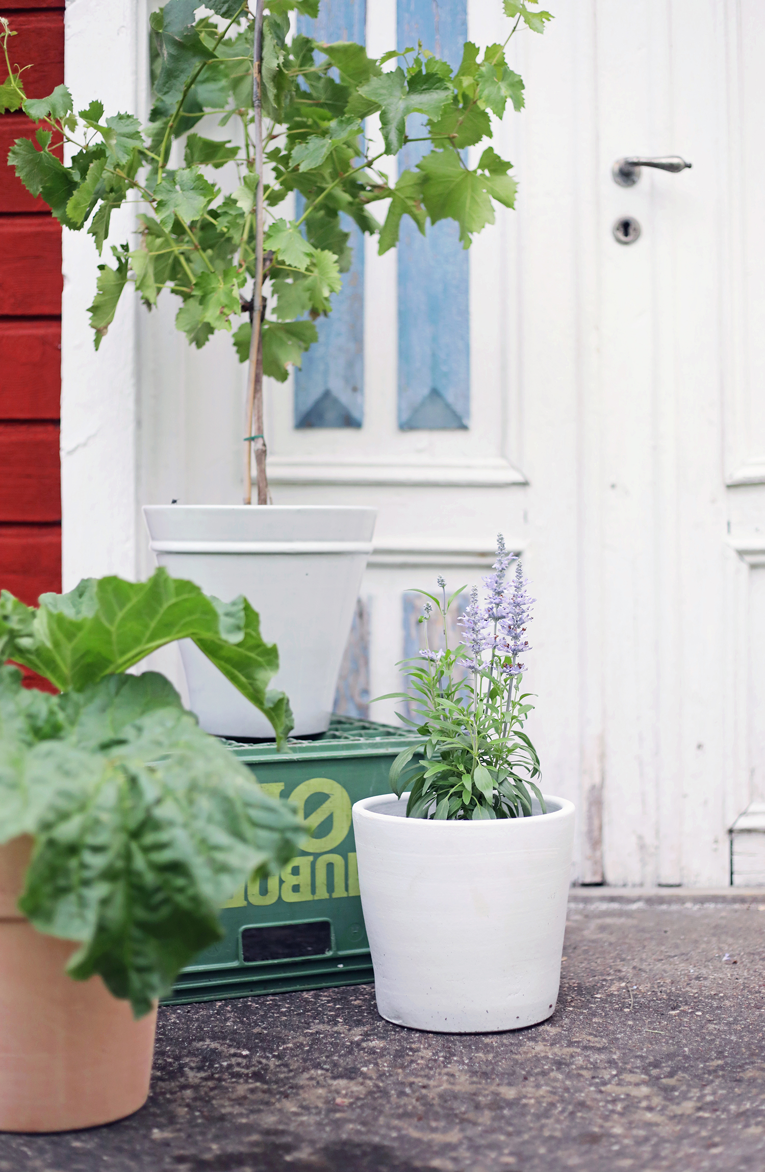 blomsterlandet gotland torp krukor odla växter trädgård vinranka