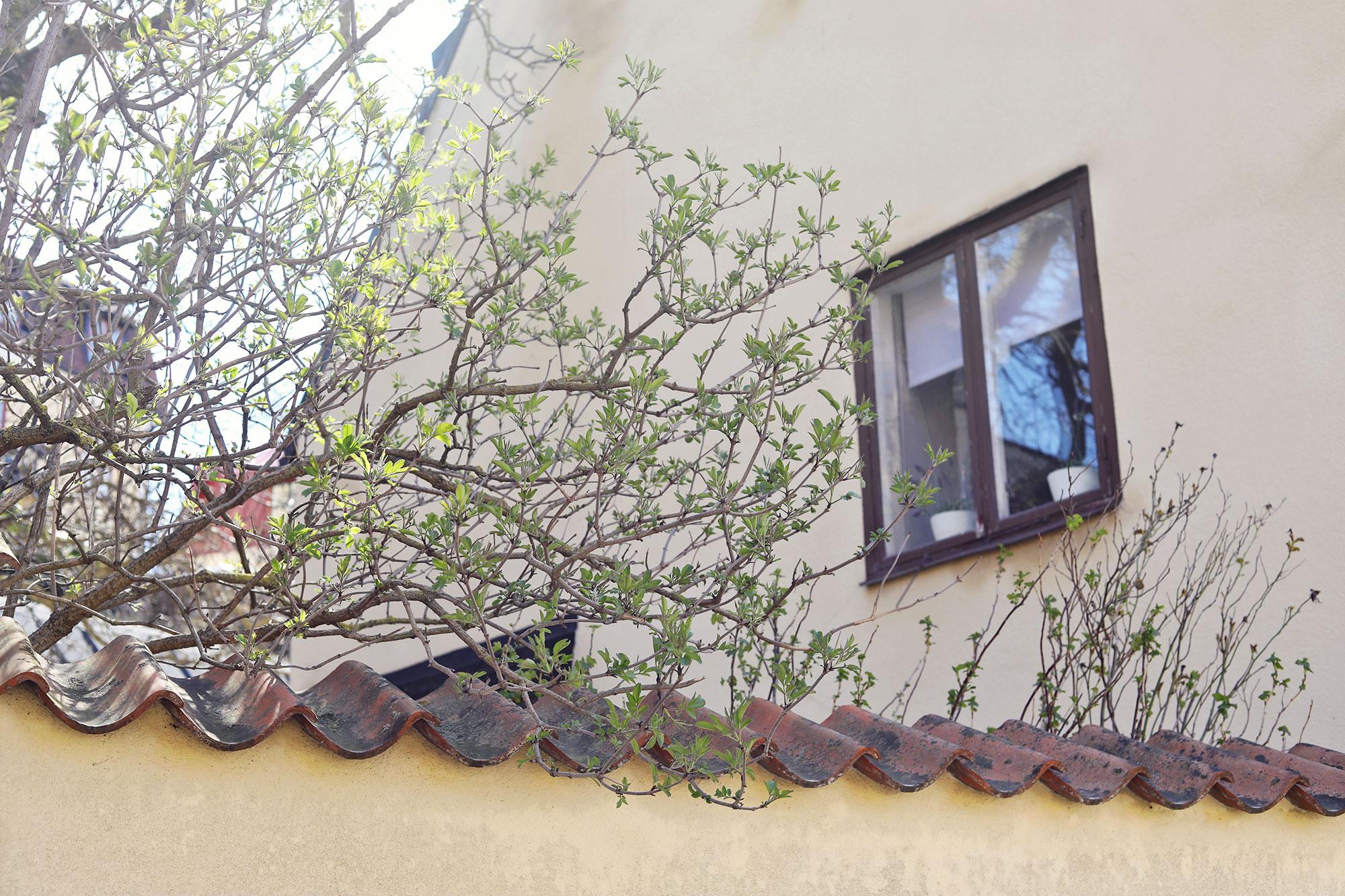 visby gotland vår hus gränder gator knoppar maj april