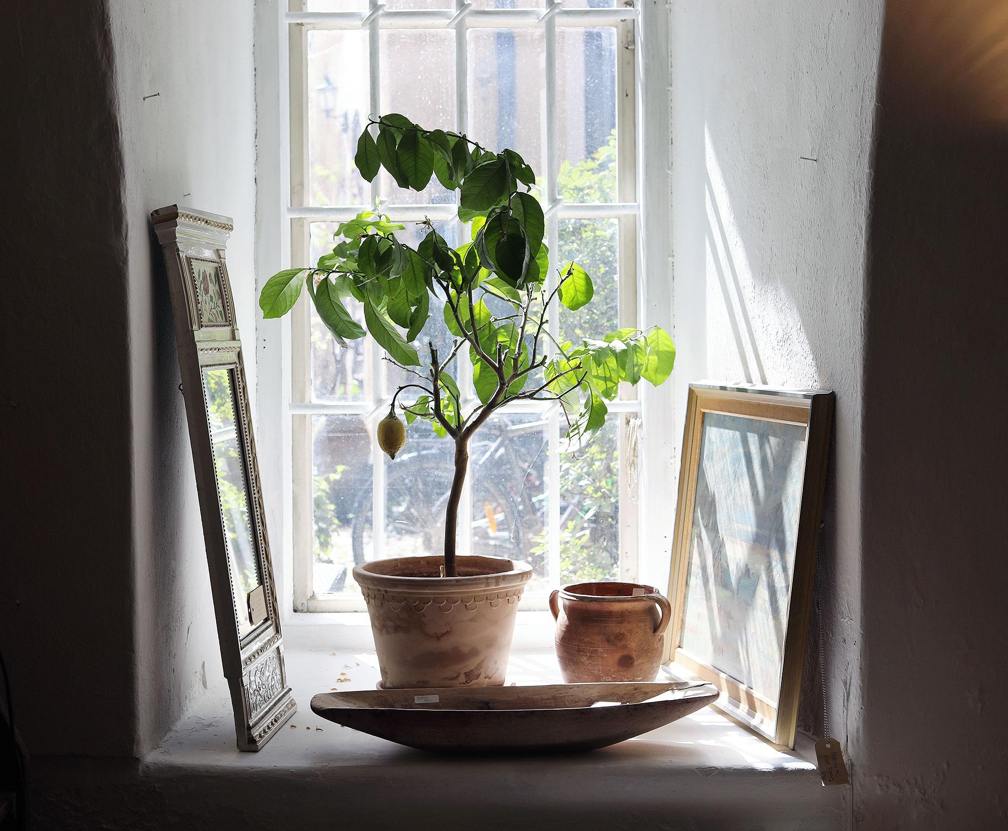 visby gotland akantus vintage inredning citronträd kruka