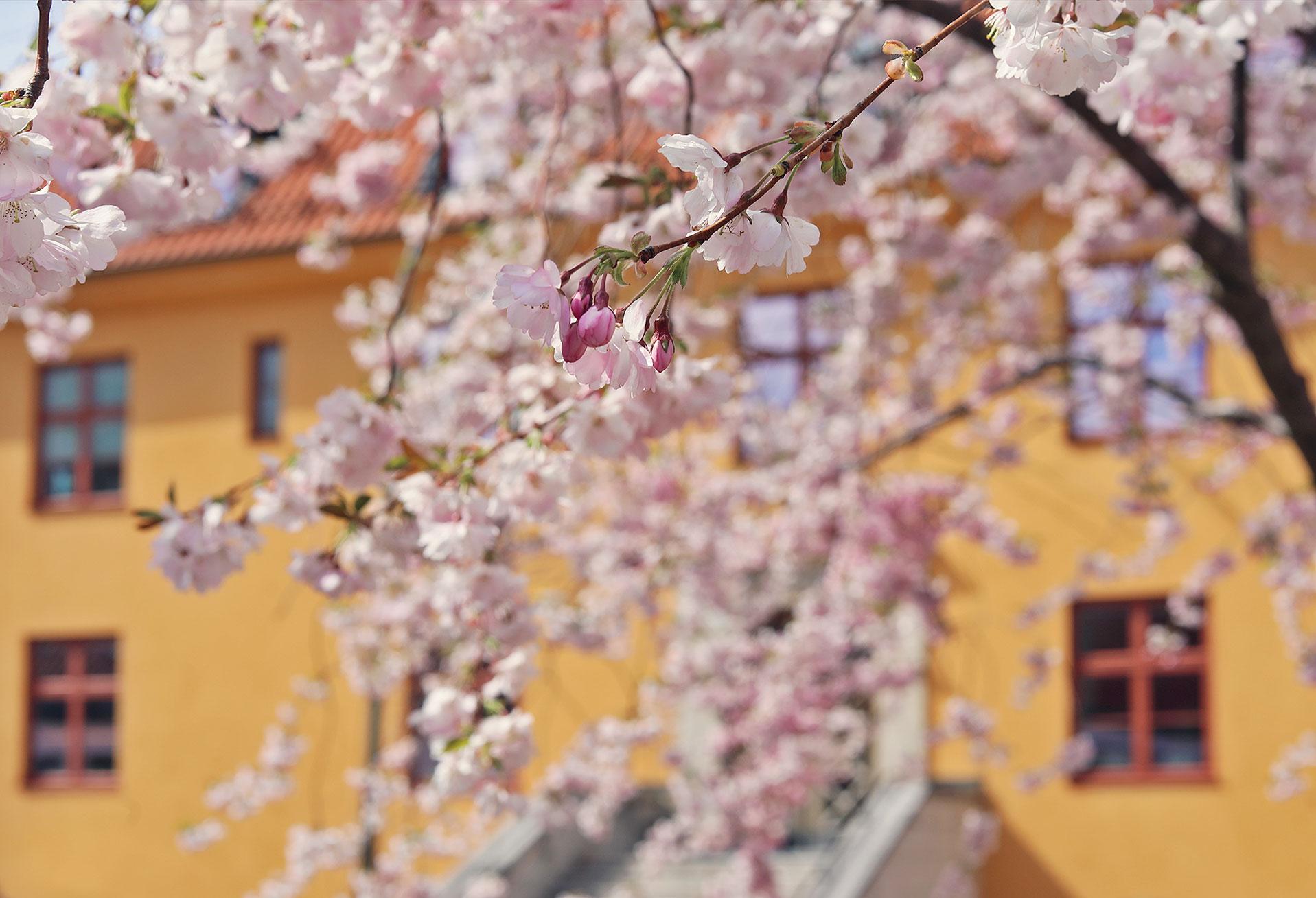 visby gotland körsbärsträd rosa blommor hus april maj vår