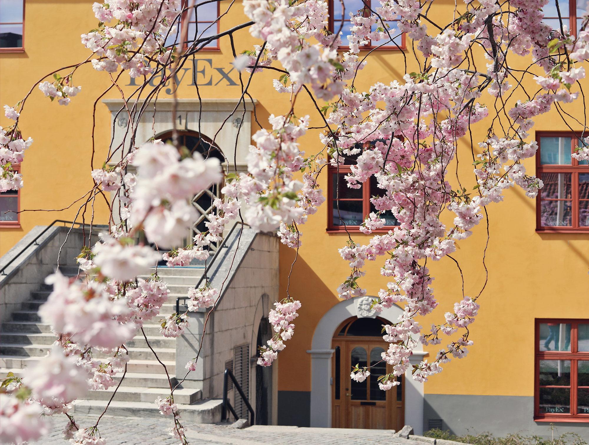 visby gotland körsbärsträd rosa blommor hus april maj