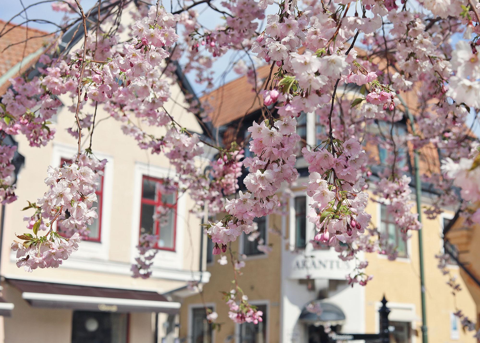 visby gotland körsbärsträd rosa blommor hus april maj vår akantus