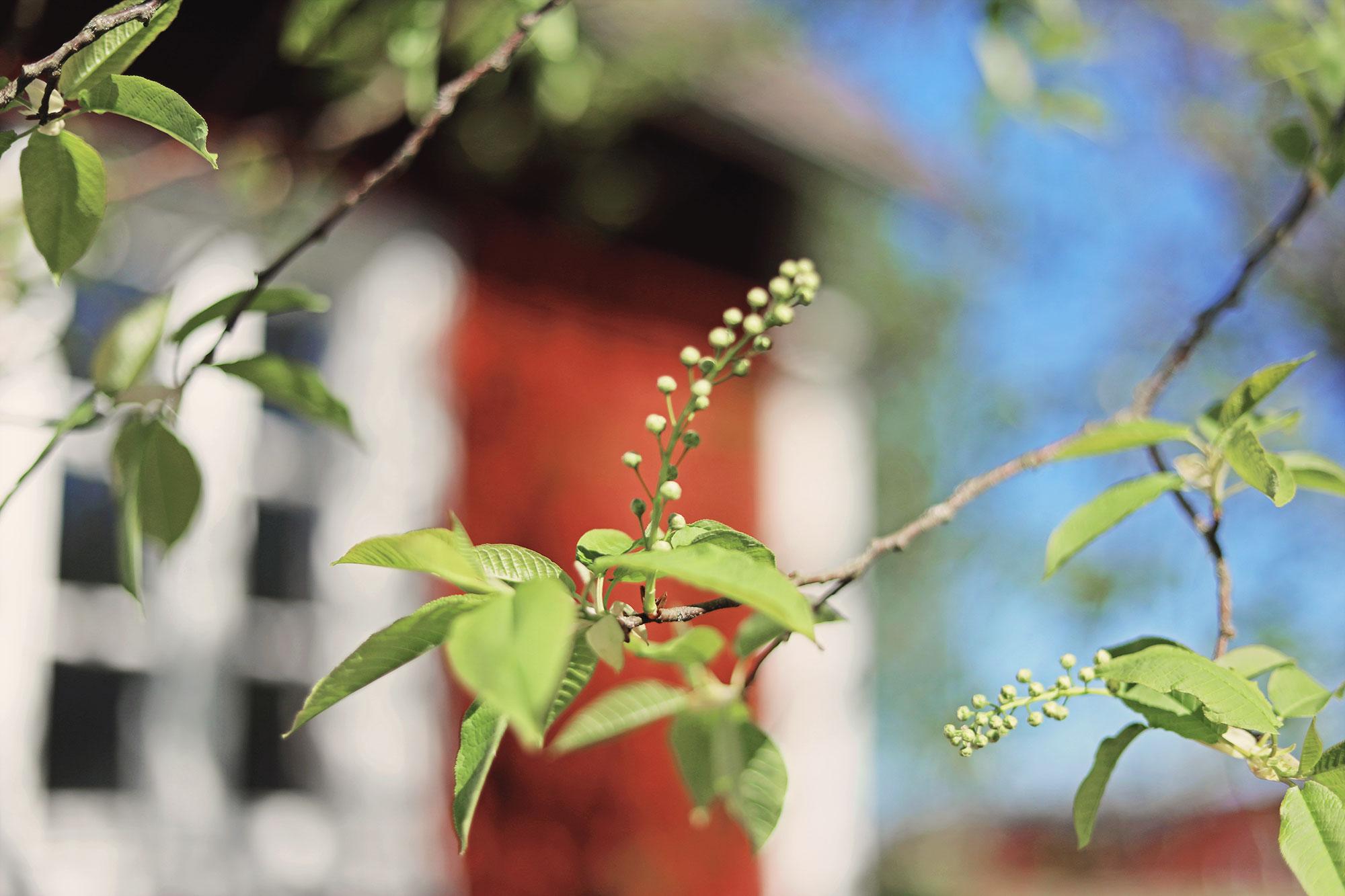 Gotland torp trädgård emmasvintage hägg
