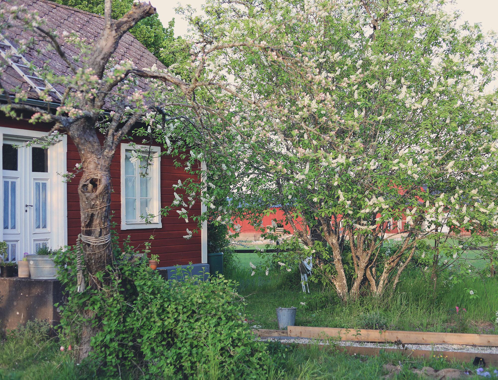 Gotland torp trädgård hägg