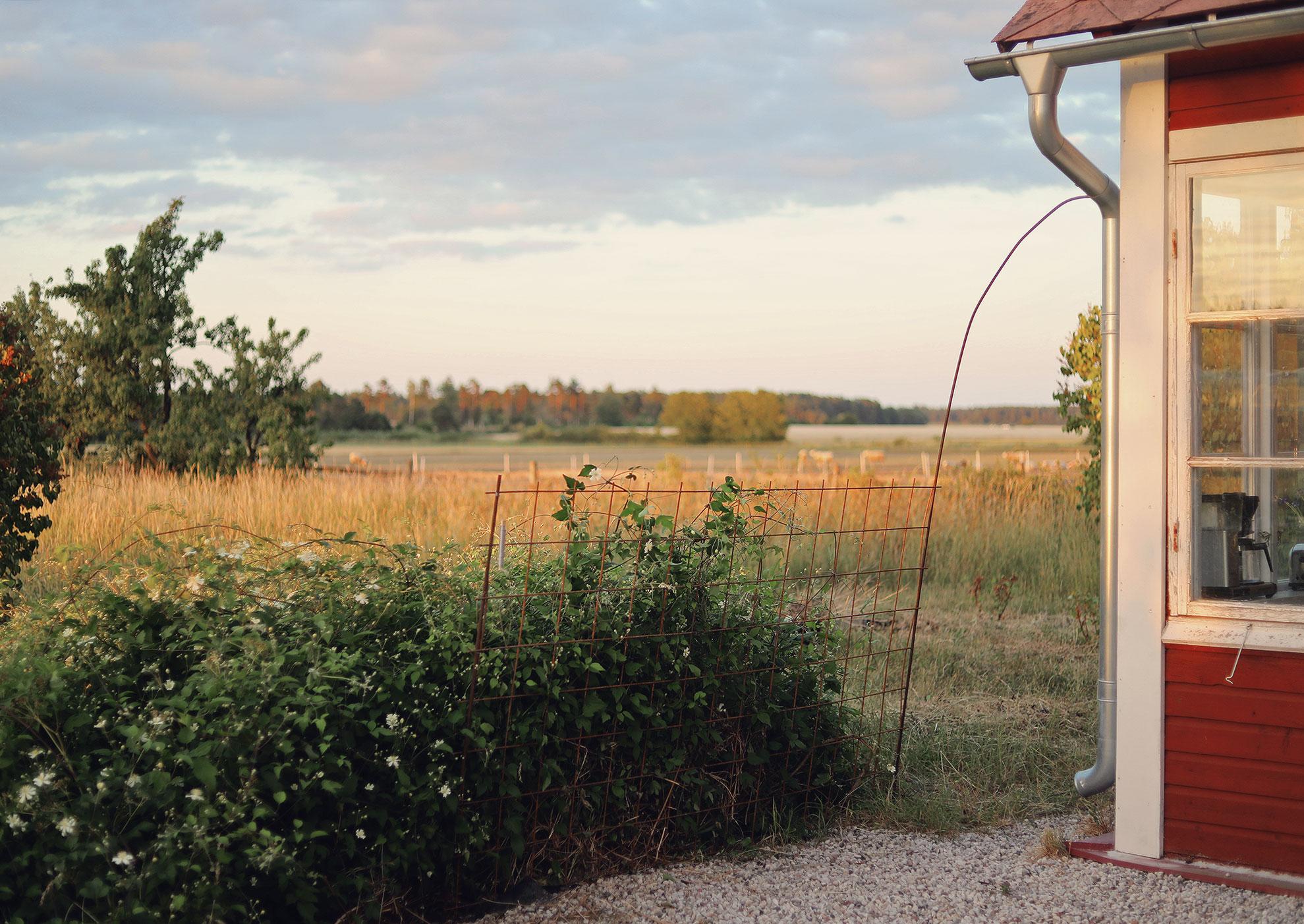 klematis trädgård Gotland torp