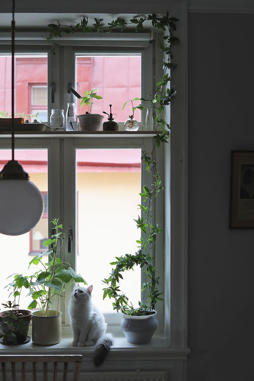 odla fönster klängerväxt ekollon citron katt sekelskift