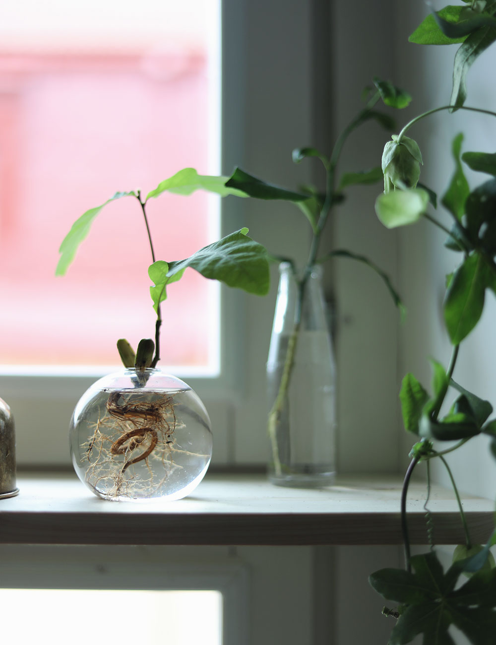 odla fönster klängerväxt ekollon